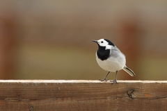 White wagtail on wooden fence. ( Motacilla alba Stock Photography