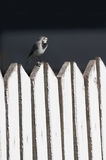 White wagtail on a wooden fence, Motacilla alba Royalty Free Stock Photos