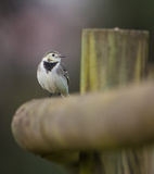 White Wagtail on wooden post Stock Photo
