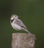 White Wagtail on wooden post Royalty Free Stock Photo