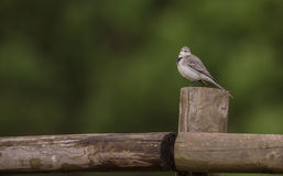 White Wagtail on wooden post Stock Photography