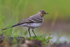 White wagtail young bird Stock Images