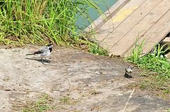 White wagtails near river Royalty Free Stock Photography