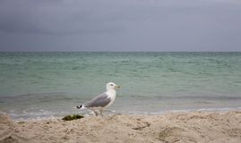 White walking seagull against storm on sea. Wild birds concept. Seagull on sand beach in hurricane day. Flying and freedom concept. Wildlife and seabirds stock image