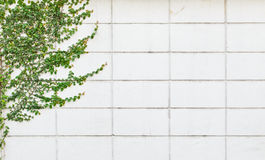 White wall with a climbing plant Royalty Free Stock Photos