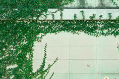 White wall with green foliage Stock Photos