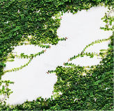 White wall green ivy plant. Royalty Free Stock Photography