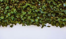 White wall with ivy. Detail of plants and nature royalty free stock photography