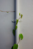 White wall with ivy growing up. Stock Photography