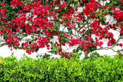 White wall in Spain with colorful red Bouganvillia creeping up and a green hedge below. White wall in Spain covered in colorful red or maroon bouganvillia with royalty free stock images