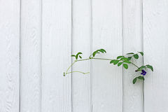 White wall with tree. Climbing plant on white wall Stock Image