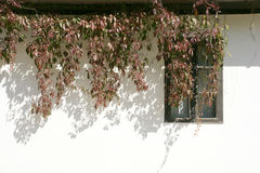 White wall. Vine that grows on the white wall of the house in the village Stock Photo