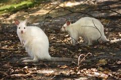 White wallabies. Wild white wallabies (albino), Australia Royalty Free Stock Photos