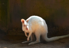 White wallabies Stock Photo