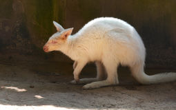 White wallabies Royalty Free Stock Photography