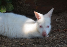 White wallabies Royalty Free Stock Photo