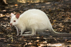 White wallaby royalty free stock images
