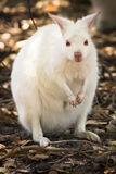 White wallaby Royalty Free Stock Photo