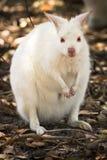 White wallaby royalty free stock photo