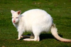 White Wallaby Royalty Free Stock Photography