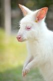 White wallaby Stock Photography