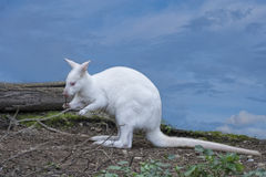 White wallaby portrait Stock Images