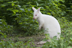 White wallaby portrait Royalty Free Stock Image
