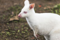 White wallaby Stock Image