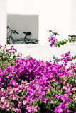 White walls and pink bougainvillea Royalty Free Stock Photo