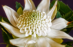 White Waratah Flower. Resplendent but yet delicate white Waratah flower head at the Waratah Festival in Blue Mountains, Mount Tomah botanical garden Stock Image
