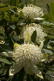 White Waratah Royalty Free Stock Photos
