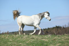 White warmblood running on pasturage Royalty Free Stock Photography