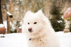 White watchdog in the yard Royalty Free Stock Photo