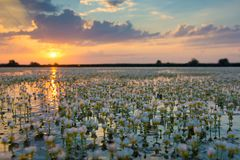 White Water Crow Foot Ranunculus fluitans in Sunset Landscape Stock Photos