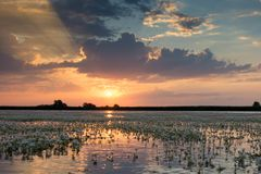 White Water Crow Foot Ranunculus fluitans in Sunset Landscape. In the Danube Delta Royalty Free Stock Photos