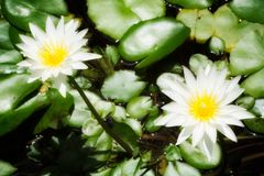 White Water Lilies Royalty Free Stock Photography