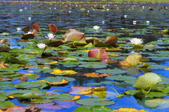 White water lilies. Floating in Minnesota lake Stock Images