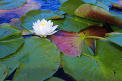 White water lilies. Floating in Minnesota lake Stock Photos