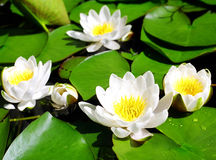White water lilies. White water lilies with green leaves Royalty Free Stock Photography