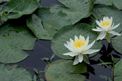 White Water Lilies. Two white water lilies surrounded by lily pads royalty free stock images