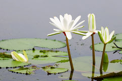 White water lilies. The blooming (detail) of white water lilies over water Stock Images