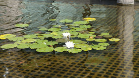 White water lilies in bloom. Iron lattice as a background Stock Photos