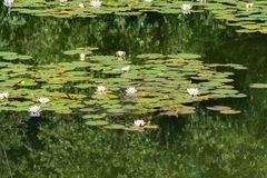 White water lilies bloom in the pond. White water lilies bloom in the pond Stock Photography