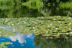 White water lilies bloom in the pond. White water lilies bloom in the pond Stock Image