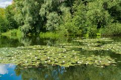 White water lilies bloom in the pond. White water lilies bloom in the pond Stock Photos