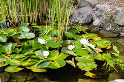 White water lilies blooming in a water garden Royalty Free Stock Image