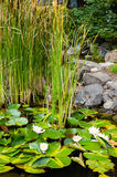 White water lilies blooming in a water garden Stock Photo