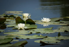 White water lilies. In the Danube Delta, Romania Stock Photos