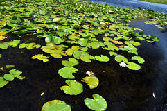 White water lilies in the Danube delta Stock Images