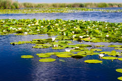 White water lilies in the Danube delta Stock Photo